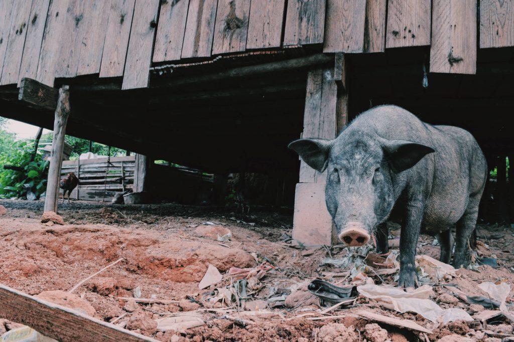 un maiale nel villaggio karen